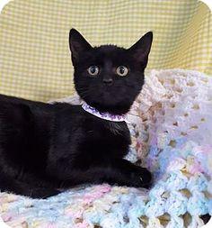 Prattville, AL - Domestic Shorthair. Meet Zoe 25784, a cat for adoption. http://www.adoptapet.com/pet/17077239-prattville-alabama-cat