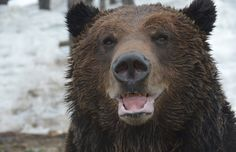 Grouse Mountain's resident grizzly bears — Grinder and Coola — have woken up for a 158-day hibernation, their longest yet. Looks like they still need their beauty sleep.