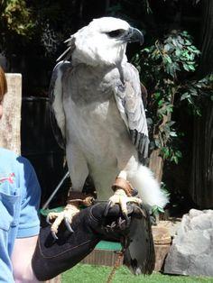 Harpy Eagle, Bald Eagle, Dove Pigeon, Mute Swan, Birds Of Prey, Raptors, Eagles, Moth, Feathers