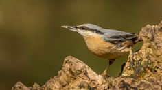 Nuthatch. I photographed this Nuthatch at Lackford Lakes, a Suffolk Wildlife Trust Reserve, near Bury St Edmunds.
