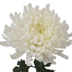 Ivory White Disbud Flowers feature a single bloom of long, lush ivory petals on each stem. This beautiful white flower will add texture and interest to any bouquet. Combine with Aleli flowers in a contrasting color for a casual yet classy arrangement. Diy Wedding Flowers, Diy Flowers, White Flowers, Floral Wedding, Wedding Bouquets, White Mums, Bouquet Flowers, Fall Flowers, Wedding Stuff