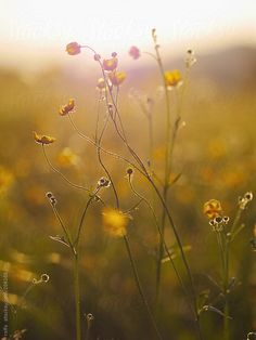Buttercups in meadow by eclaire | Stocksy United