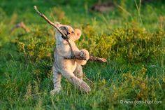 La Galerie - Christine et Michel Denis Huot photographes animaliers - - lion - 79104