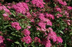 Rote Sommerspiere 'Anthony Waterer' - Spiraea bumalda 'Anthony Waterer'
