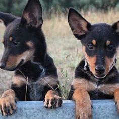Double Trouble! . #kelpie #kelpiepuppy #puppiesofinstagram #kelpie #kelpiecountry #kelpiekuntry #australiankelpie #instakelpies… Australian Shepherds, West Highland Terrier, Scottish Terrier, Rottweiler, Husky, Horses And Dogs, Double Trouble, Working Dogs, Border Collie