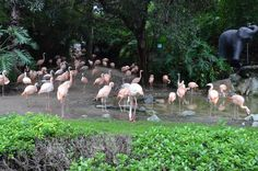 You recognize these as pink flamingos. We are visiting the Los Angeles Zoo with our Elite Adventure Tours family as part of a sightseeing adventure.  Kids love the zoo animals. After, we can take them to see Kermit the Frog.