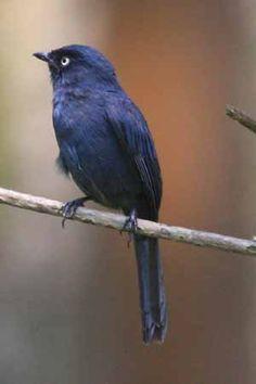 Yellow-eyed Black Flycatcher