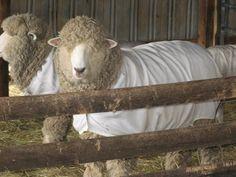 Rupert's Corriedale Sheep E Farm, Cute Lamb, Sheep And Lamb, Counting Sheep, Hand Spinner, Lambs, Livestock, Farm Animals, Hand Knitting