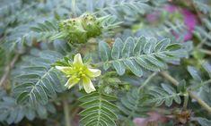 Lék ze zahrady: KOTVIČNÍK ZEMNÍ – LÉČIVÝ PLEVEL