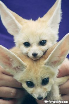 Fennec Fox & Friends - NORTH GEORGIA ZOO & Petting Farm Home of Wildlife Wonders & Paradise Valley Farm