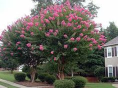 Tennessee Wholesale Tree Nursery - Pink Crepe Myrtles, $24.99 (http://www.tnnursery.net/pink-crepe-myrtles/)