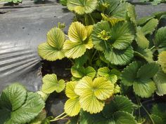 A closer look at yellowing leaves on plants can help gardeners get to the root of the problem.
