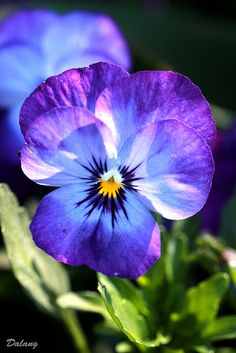 Pansy for your garden? They grow well from seeds and if one trims off the old blooms, the planter/garden area will always look fresh. Children love them, they press well between the pages of a book for a winter surprise. ModPodge them with the kids!de