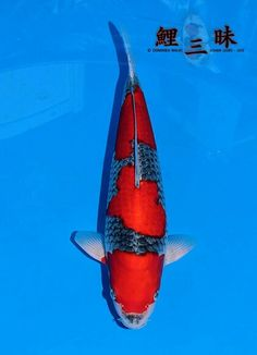 1000 images about goshiki koi on pinterest koi fish for Goshiki koi fish for sale