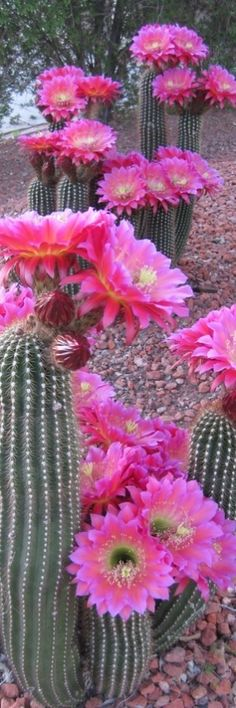 cactus garden.... With beautiful flowets