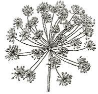 lg lace flower