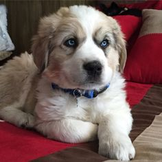 Great Pyrenees and Australian Shepard adorable puppy mix