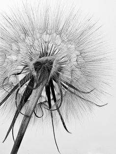 Dandelion Mono by Pam