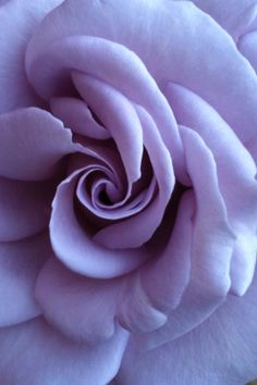 Blue Moon Rose - blue with a touch of purple - amazing color! Purple Love, Purple Lilac, All Things Purple, Purple Rain, Shades Of Purple, Amazing Flowers, Love Flowers, Beautiful Roses, Lavender Roses