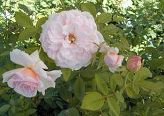 Chamblee Rose Nursery The Rose Society, Peace Rose, Rose Nursery, Shrub Roses, Plant Catalogs, Rose Bush, Buy Roses, Climbing Roses, Beautiful Roses