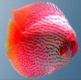 Ontwerp 1:Dit is een mooie vis die ik wil gebruiken bij mijn ontwerp waarbij dieren uit het water komen en je precies hetzelfde in  je blad ziet. 1-12-2015