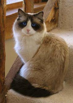 Beautiful blue eyes Ragdoll Cat