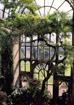 Wisteria vine i conservatory with large Palladian window