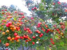 Sweet & Edible Fruit of Cornus kousa Dogwood/ Japonine valgomoji sedula, sodinti du augalaus, uzuovejoj, atsparesne salciui auginta is kauliuku Kousa Dogwood, Food Ideas, Gardening, Make It Yourself, Fantasy, Fruit, Sweet, Youtube, Candy