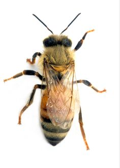 An Adult Female Worker Honey Bee  CC Atribution license