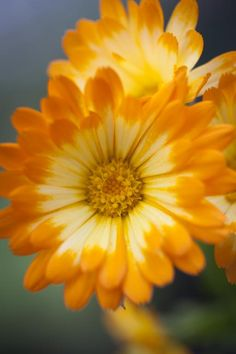 Calendula officinalis, 'Oopsy Daisy' Seeds from Chiltern Seeds - Chiltern Seeds Secure Online Seed Catalogue and Shop Exotic Flowers, Orange Flowers, Amazing Flowers, My Flower, Beautiful Flowers, Flower Types, Flowers Nature, Calendula, Horticulture