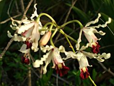 National flower of the Cayman Islands: Wild Banana Orchid, Schomburgkia thomsoniana this var. thomsoniana was photographed on Grand Cayman #caribbean