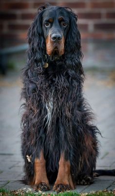 Gordon Setter ~ polite, even tempered, devoted dog, making an enjoyable companion that is excellent with children.