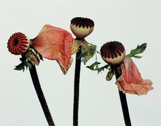 Single Oriental Poppy (A), New York, Irving Penn. Photo: © The Irving Penn Foundation Irving Penn Flowers, Vogue Cover, Language Of Flowers, Fashion Wallpaper, Wallpaper Magazine, Botanical Flowers, Botanical Art, Natural World, Planting Flowers