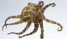 Learn interesting facts about what invertebrates are. Find out more about the definition of invertebrates and improve your knowledge with DK Find Out. Blue Ringed Octopus Facts, Deadly Animals In Australia, Octopus Photography, Octopus Species, Octopus Pictures, Octopus Images, Dk Find Out, Deadly Creatures, Ocean Creatures