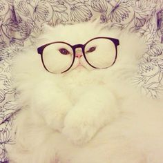 Fluffy Persian cat with glasses