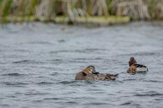 Wild Ducks photographed in Vacaresti Delta near Bucharest City. @ andrei raceala
