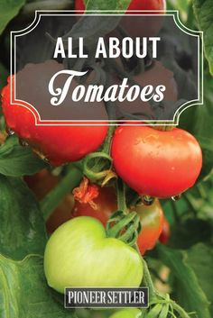 All About Tomatoes: Your Spring Growing Guide | Homesteading & Gardening Tips by Pioneer Settler at http://pioneersettler.com/tomatoes/
