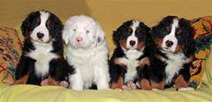 white bernese mountain dog puppy among siblings