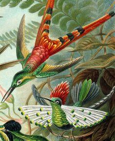 Ernst Haeckel | Lophornis | http://upload.wikimedia.org/wikipedia/commons/b/b1/Haeckel_Lophornis.jpg