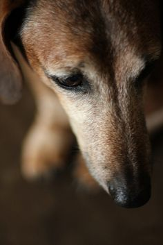 Senior Dachshund - what a beautiful face!