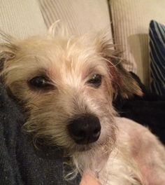 Meet Peanut, a Petfinder adoptable Terrier Dog | Arlington, VA | In an effort to save more lives, HT is allowing expedited adoptions for certain animals if...
