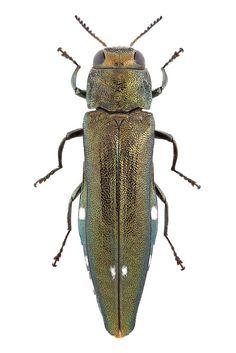 Agrilus biguttatus (Fabricius, 1776) ♀