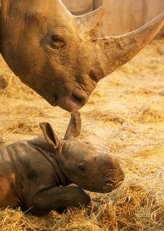 Naissance d'un bébé rhinocéros