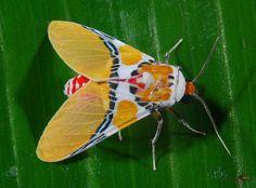 Spectacular tiger moth (Idalus herois)   Yasuni NP, Ecuador   Art   Flickr