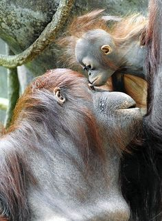 Sophia, a 27-year-old orangutan, and her unnamed 6-month-old baby female enjoy the day at the Brookfield Zoo in Brookfield, Ill.
