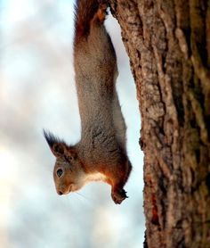 A squirrel hanging by its hind feet on to the trunk of a tree.