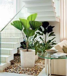 Por apresentar um crescimento lento, a palmeira-leque é ótima para o cultivo em vasos. Mas é preciso colocá-la em ambientes amplos e bem iluminados. Suas folhas grandes, plissadas e com margem dentada, em um lindo tom de verde brilhante, chamam a atenção de quem passa. Para mantê-la saudável, remova as folhas velhas e secas e adube a espécie durante o verão. O reenvase a cada dois anos também faz parte dos cuidados necessários. Proteja-a de ventos fortes e do aparelho de ar-condicionado…