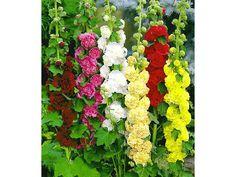 stockrosen-malven-mischung-3-pflanzen-alcea-rosea-pleniflora-zoom--4.jpg (1500×1125)