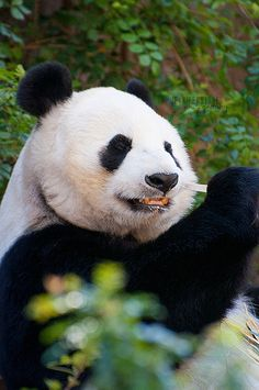 Bai Yun, Panda