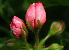 Pelargonium - Pelargonie Pink Pandorra